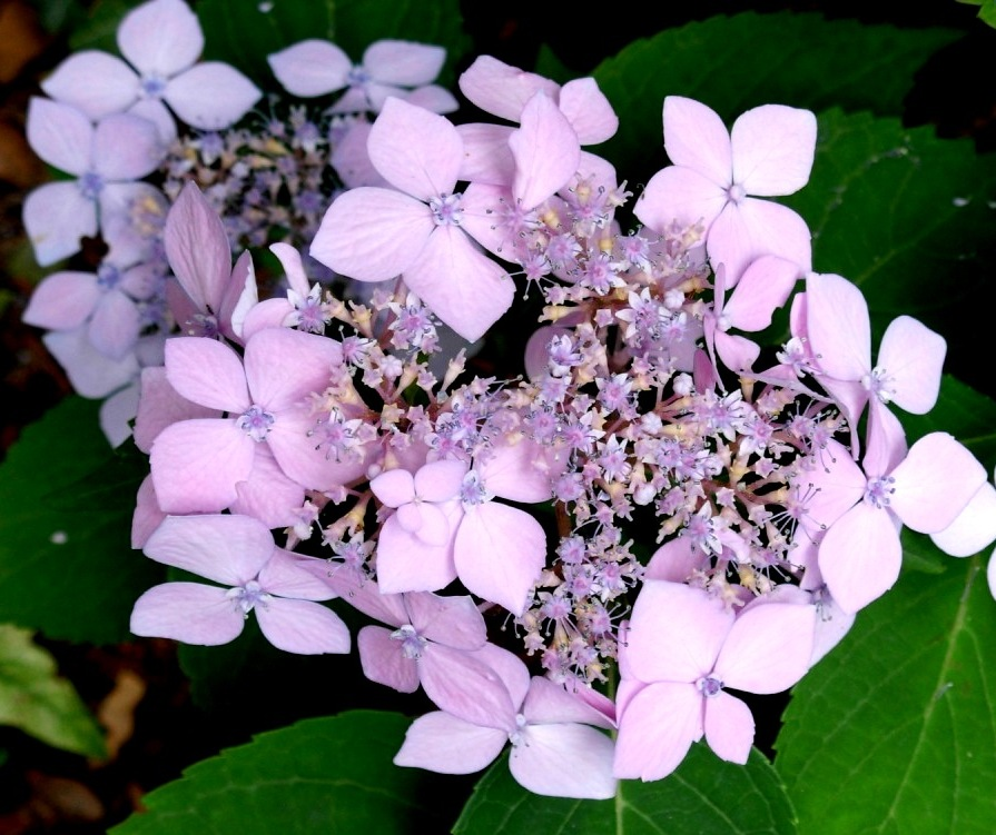 Hydrangea macrophylla'Liliacina