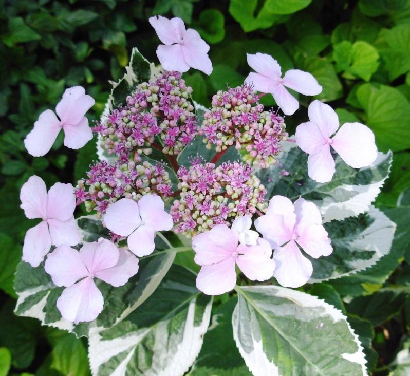 Hydrangea macrophylla'Tricolor'
