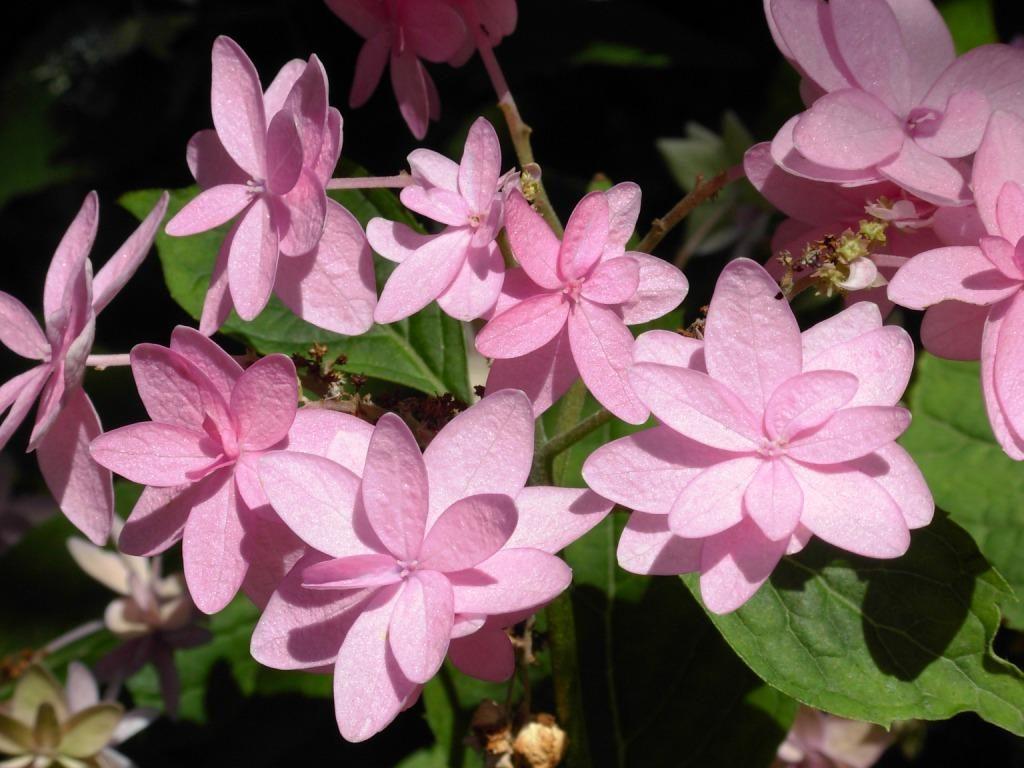 Hydrangea serrata'Mikata Yae'
