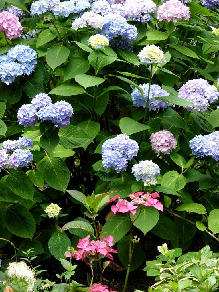 ortensie in fiore